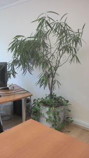 Große Topfpflanze