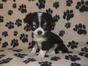 Reinrassiger Mini Chihuahua