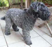 Rassehündin Kerry-Blue-Terrier Dunja ist einsam