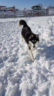 Chinook 7 Monate Siberian Husky
