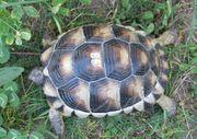 Breitrandschildkröte mit 400 Gramm