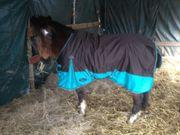 1 welsh Pony Stute