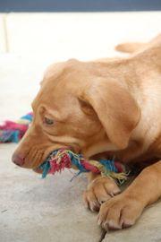 Labrador Hündin aus