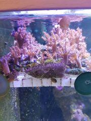 Keniabäumchen Capnella imbricata Meerwasser