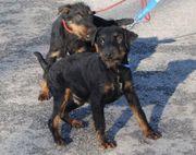 Terrier Mix Welpen Beretta Colt -