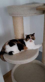 Exotic Shorthair-Katze