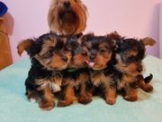 4 goldige reinrassige Yorkshire Terrier
