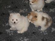 Bezaubernde echte Pomeranianbärchen in wunderschönen