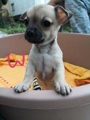 Reinrassige Chihuahua Welpen suchen neues