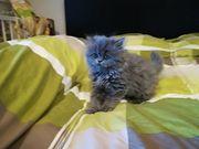 Perser Katzen babys
