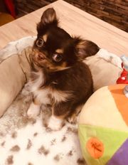 Chihuahua Rüden schoko langhaar