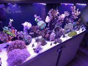 Meerwasser Ableger Anemone Koralle Aquarium