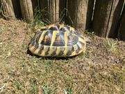 Griechische Landschildkröte ,