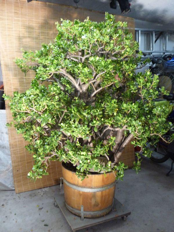 geldbaum in gerolsheim pflanzen kaufen und verkaufen ber private kleinanzeigen. Black Bedroom Furniture Sets. Home Design Ideas