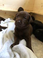 Wunderschöne Labrador-Welpen