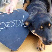 Rozsda, Schäferhund-Rottweiler-