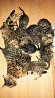 9 Bengal Kitten