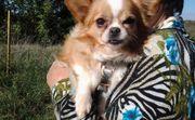 Maco und Lara liebe Chihuahuamädels