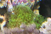 Meerwasser grüne Röhrenkoralle -