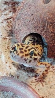 Leopardgecko, männlich, High