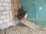 Serama -Zwerghühner zur Zeit die
