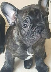 Französisch bulldog welpen
