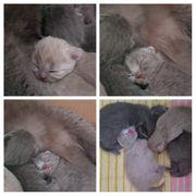 BKH Kitten Kätzchen Katzenbabys