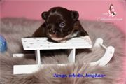 wunderschöner Chihuahua Babys mit Ahnentafel