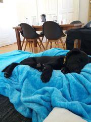 Wunderschöner Labrador Retriever Mix