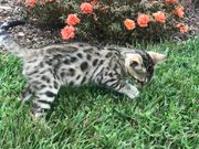 Bengal Kitten suchen
