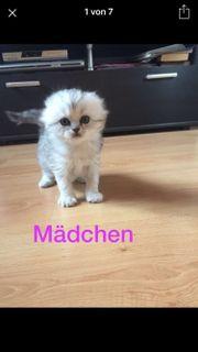 Bkh Kitten schottich