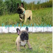 DECKRÜDE / Französische Bulldogge
