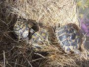 Schildkröten Testudo THB