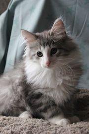 Katzenbaby Flynn Norwegische