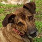 Halcon,toller Familienhund