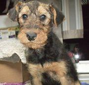 Airedale-Terrier-Welpen