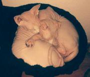 Nacktkatzen