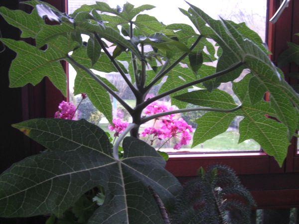 Seltener Blickfang Anden-Papaiea- essbare Früchte