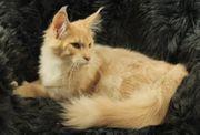 Maine Coon Kitten - typvoll m