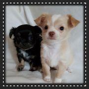 Chihuahua Welpen Rüden reinrassig