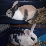 Zwergkaninchen Kaninchen Hase