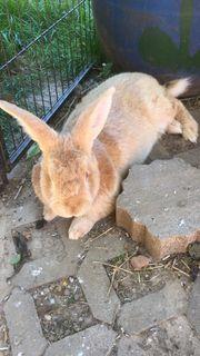 Kaninchen, Rassekaninchen, Großsilber