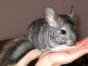 3 Chinchillas suchen