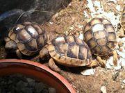 Verkaufe Breitrandschildkröten-Babys Testudo marginata aus