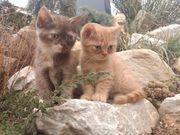 kleine Bärchen Britische Kurzhaar Katze