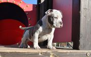 American Bully Extrem Bully Exotic