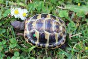 Griechische Landschildkröten THh -