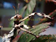 Australische Gespenstschrecke Extatosoma tiaratum LICHEN