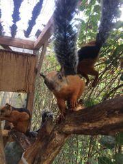 Junge handzahme Atrirufus Eichhörnchen
