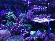Korallenableger Korallen Meerwasser Meerwasseraquarium